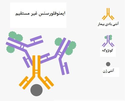 immuno2